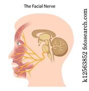 The facial nerve, eps10
