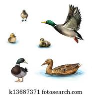 Water birds, Flying duck, duck in the water, standing male duck, ducklings in the water, Isolated on white background.