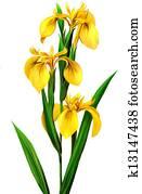 Yellow Iris,