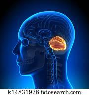 Brain Anatomy - Cerebellum