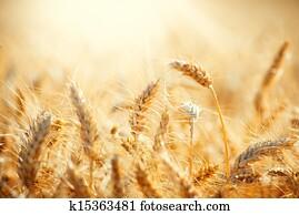 feld, von, trocken, goldenes, wheat., ernte, begriff
