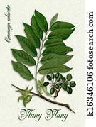 Botanical illustration of Ylang