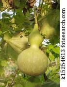 calabash plant