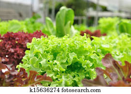 Close up organic vegetable farms