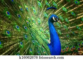 Fascinating peacock