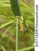 Marsh Grasshopper