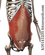 The transversus abdominis muscle