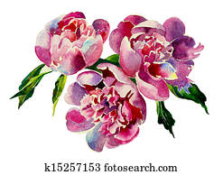 Three pink peonies watercolor