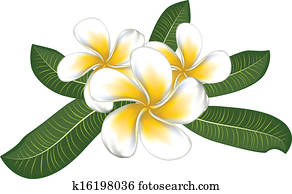 White plumeria with leaves