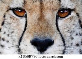 Cheetah Wild Cat Eyes