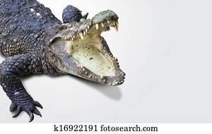dangerous alligator with open mouth