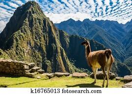 Llama Machu Picchu ruins peruvian Andes Cuzco Peru