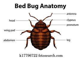 Bed Bug Anatomy
