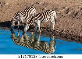 Zebras Wildlife Animals Colors
