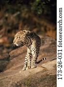 Outdoors, Wild, Wilderness, Leopards, Big, Leopard, Cats
