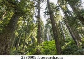 altes wachstum douglas tanne b ume wachsen regenwald stock bilder und fotos 42 altes wachstum. Black Bedroom Furniture Sets. Home Design Ideas