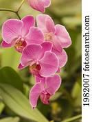 orchidee arten stock bilder und fotos 979 orchidee arten fotografien und lizenzfreie bilder aus. Black Bedroom Furniture Sets. Home Design Ideas