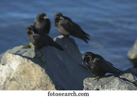 Crows Stock Photo Images 16 692 Crows Royalty Free Images