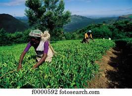 plantation, Sri Lanka, India, harvest, harvesting, tea, Nuwara eliya