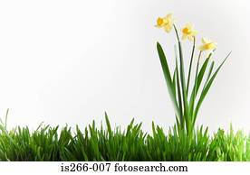 Daffodils in grass