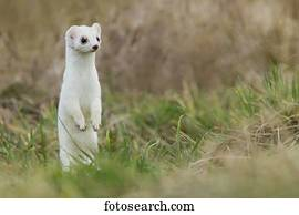 Ermine Photos | Our Top 711 Ermine Stock Images | Fotosearch