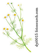 An illustration of a chamomile plant