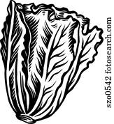 Romaine lettuce represented on a white background