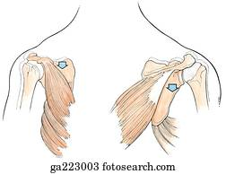 Anterior (left) and posterior (right) views of scapular ...