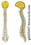 The spinal cord within the bony vertebral canal. Emergence of spinal nerves at various levels.