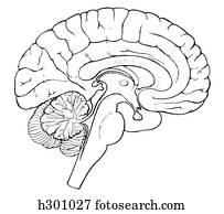 Brain, sagittal section