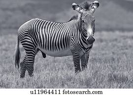 Close up side view of Burchell's zebra walking in grass ...