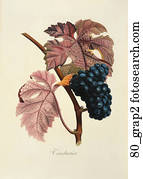 Antique Botanical Illustration of Black Grapes (color printed and hand-finished stipple engraving).,   1846