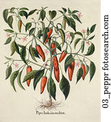 Antique Botanical Illustration of Chile Peppers (hand-colored copper engraving).,  c. 1640