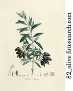 Antique Botanical Illustration of Olives (color printed and hand-finished stipple engraving).,1846