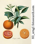Antique Botanical Illustration of Orange Tree (color printed and hand-finished stipple engraving).,  1846