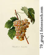 Antique Botanical Illustration of Green Grapes (color printed and hand-finished stipple engraving).,  1846