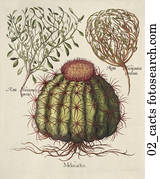 Antique Botanical Illustration of Cactus (hand-colored copper engraving)., c. 1640