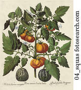 Antique Botanical Illustration of Tomatoes and Squash (hand-colored copper engraving)., c. 1640