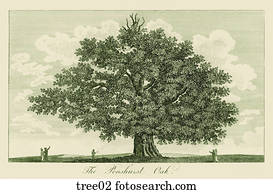 Antique Engraving of a Large Oak Tree,